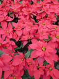 Poinsettia leaves Royalty Free Stock Image