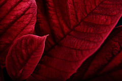 Poinsettia Leaves Macro Stock Images