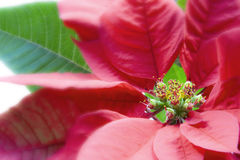 Poinsettia Macro Over White Royalty Free Stock Photo