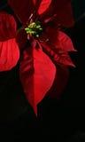 Poinsettia met Zwarte Achtergrond Stock Foto's