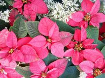 POINSETTIA morgens Stockbilder