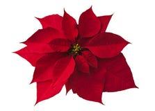 Poinsettia op wit Royalty-vrije Stock Foto