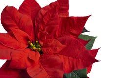Poinsettia op Wit Stock Fotografie