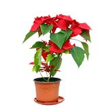 Poinsettia over white Stock Photography