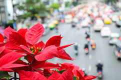 Poinsettia Overlooking Traffic. Poinsettia blooms giving warmth to traffic jam Royalty Free Stock Photos