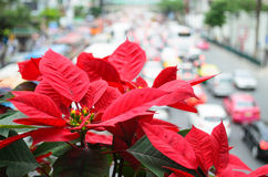 Poinsettia Overlooking Traffic. Poinsettia blooms giving warmth to traffic jam Royalty Free Stock Photo