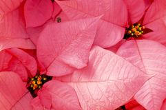 Poinsettia. Pink poinsettia foliage Royalty Free Stock Photo