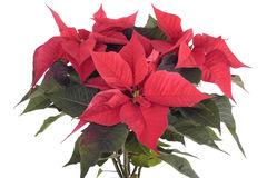 Poinsettia plant. Isolated on white background stock images
