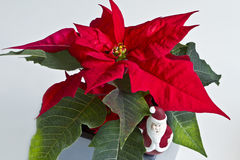 Poinsettia plant Royalty Free Stock Images