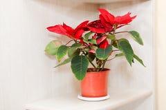 Poinsettia plant Royalty Free Stock Photography