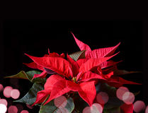 Poinsettia plant for Christmas Stock Photography