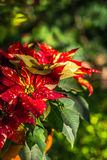 Poinsettia Plant Stock Photos