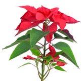 Poinsettia plant Stock Photo