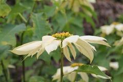 Poinsettia plant. Stock Photos