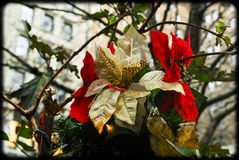 Poinsettia Plant decorations at Christmas Time. Stock Photography
