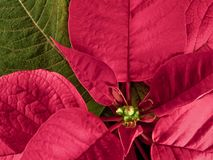 Poinsettia plant (Euphorbia pulcherrima) Royalty Free Stock Photo