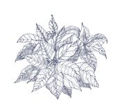 Poinsettia plant with leaves and bracts hand drawn with contour lines on white background. Elegant Christmas holiday stock illustration