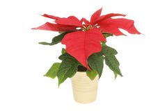 Poinsettia plant in a pot Stock Photos