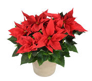 Poinsettia plant. Red poinsettia plant in vase isolated on white royalty free stock photos