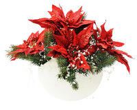Poinsettia Plant with spruce branches in vase isolated on white Stock Images
