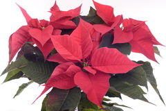 Poinsettia plant on white. Poinsettia plant isolated on white background Royalty Free Stock Images