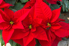 Poinsettia plants in bloom as Christmas decorations. Poinsettia plants in bloom used as traditional Christmas decorations Royalty Free Stock Photos