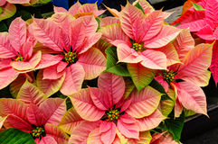 Poinsettia plants in bloom as Christmas decorations. Poinsettia plants in bloom used as traditional Christmas decorations Royalty Free Stock Photography