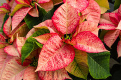 Poinsettia plants in bloom as Christmas decorations Royalty Free Stock Images
