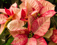 Poinsettia plants in bloom as Christmas decorations Stock Image
