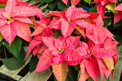 Poinsettia plants in bloom as Christmas decorations Stock Images