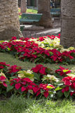Poinsettia plants Stock Photos