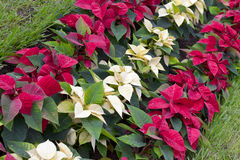Poinsettia plants Royalty Free Stock Photography