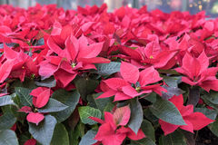 Poinsettia plants. In a large bed royalty free stock images