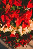 Poinsettia. royalty free stock photos
