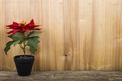 Poinsettia in a pot Royalty Free Stock Photos