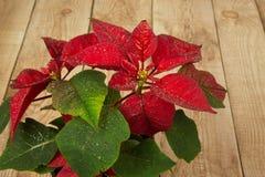 Poinsettia (pulcherrima ευφορβίας) ή αστέρι της Βηθλεέμ στο ξύλινο β Στοκ Εικόνες