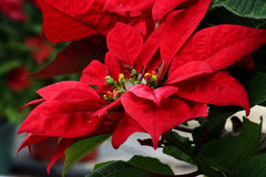 Poinsettia rare Photographie stock