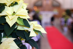 Poinsettia and the red carpet during the religious event Royalty Free Stock Images