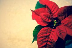 Poinsettia. Red christmas star. Traditional holiday flower stock photo