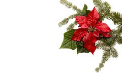 Poinsettia red flower with fir tree and snow on white background. Greetings Christmas card. Postcard. Christmastime. Red White and. Poinsettia flower with fir vector illustration