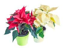 The poinsettia red flowers Euphorbia pulcherrima Royalty Free Stock Photo