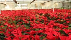 Poinsettia. Red plantation of Christmas star flowers cultivated in greenhouse