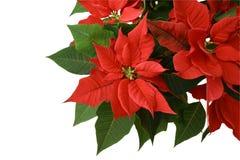 Poinsettia rojo Foto de archivo libre de regalías