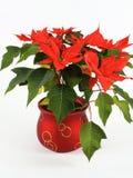 Poinsettia rojo imagen de archivo