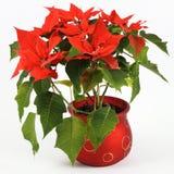 Poinsettia rojo Imagen de archivo libre de regalías