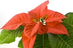 Poinsettia rojo fotos de archivo libres de regalías