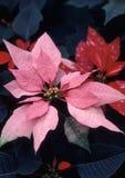 Poinsettia Rosado-bracted Imagen de archivo