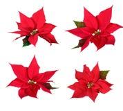 Poinsettia rosso immagini stock