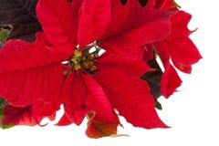 Poinsettia rosso immagine stock libera da diritti
