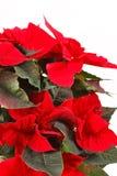 Poinsettia rosso fotografia stock libera da diritti